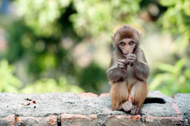 Священное животное Непала