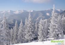 Ели зимой в Карпатах