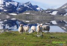 Домашние животные Норвегии