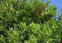 Долгожданные фрукты